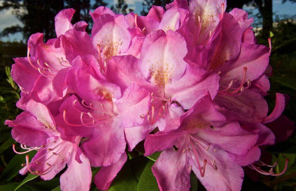 Pink-Cluster