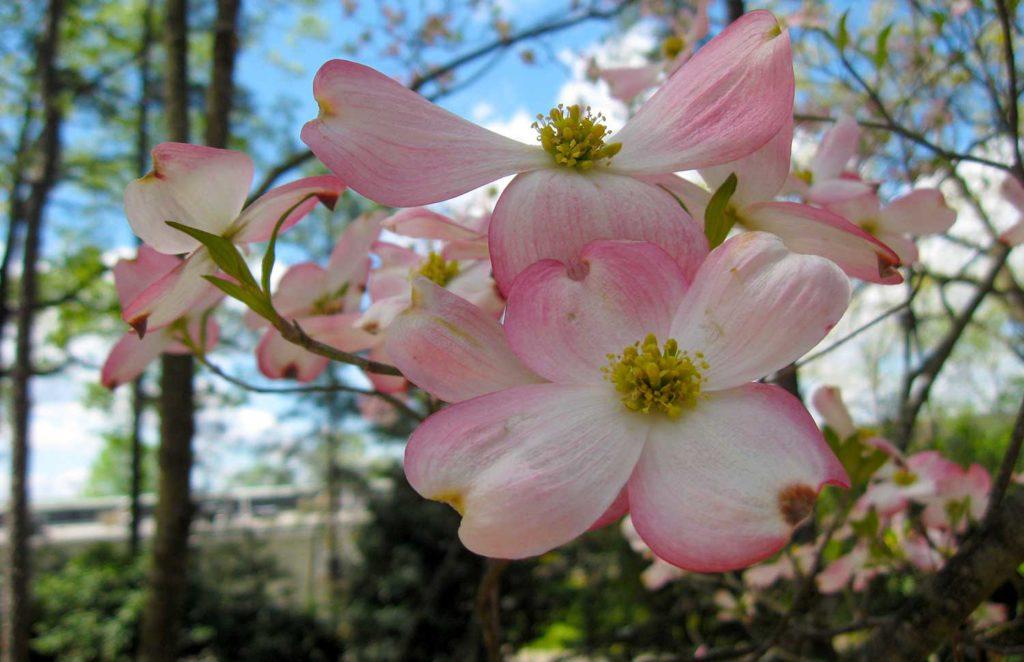 Pink-Dogwoods