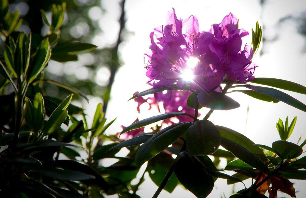 Sunlight-thru-Pink