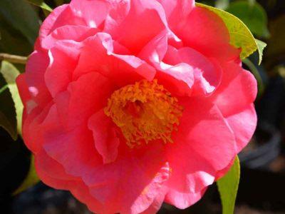 Kumasaka Camellia