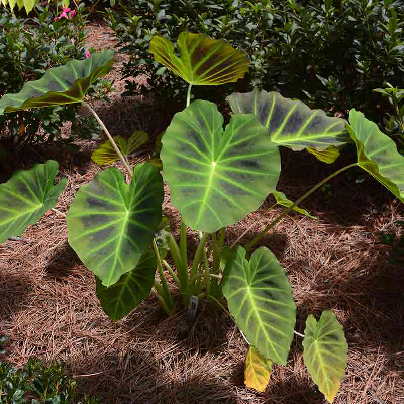 Elephant Ear Imperial Gigante