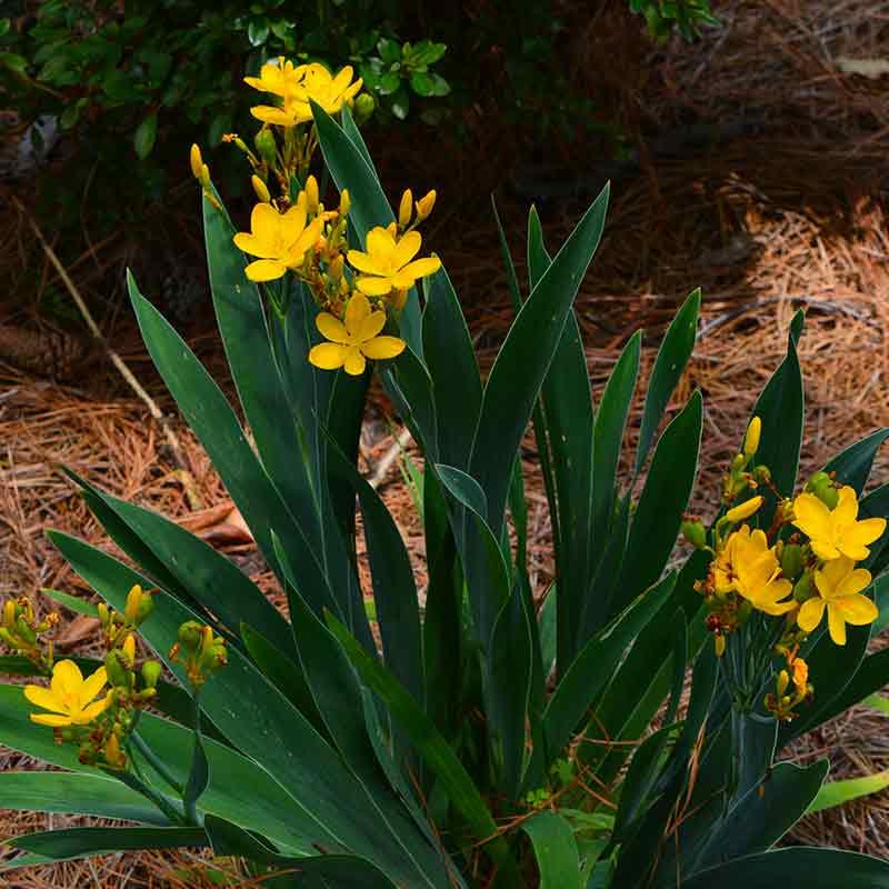 Hello Yellow Blackberry Lily