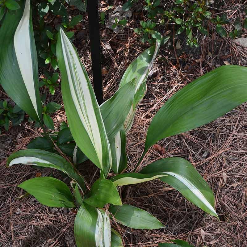 VARIEGATED CAST IRON PLANT