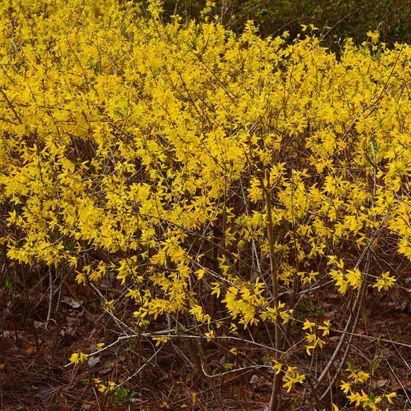 forsythia lynwood