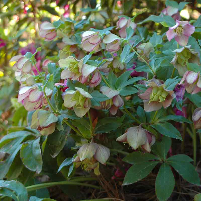 Cold weather got you down? Hellebores the cure!